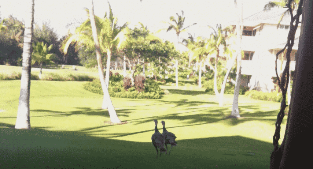 Wild Turkeys on the Big Island of Hawaii?